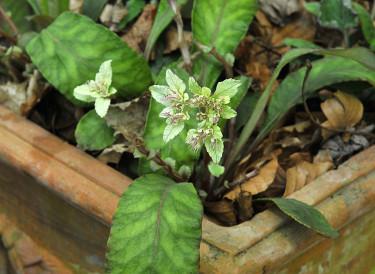 _Chrysosplenium macrophyllum_, silverpudra. Foto: Bernt Svensson