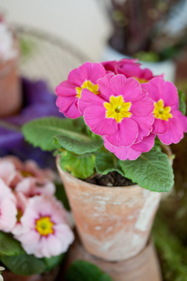 I en enkel terrakottakruka gör sig primulan fint! Foto: Blomsterfrämjandet, Minna Mercke Schmidt