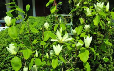 Magnolia 'Elisabeth' betyder något särskilt för mig.