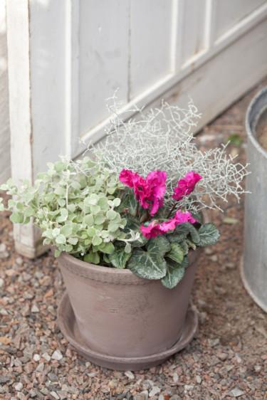 Cyklamen, rabatteternell och silvergirland i samplantering. Foto: Blomsterfrämjandet/Minna Mercke Schmidt.