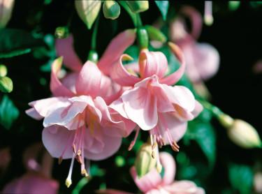 Fuchsia 'Pink Gallore'.