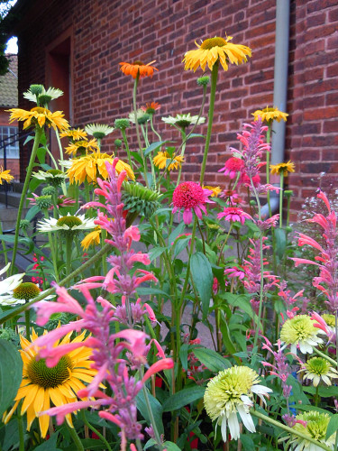 Olika sorters solhattar, _Echinacea purpurea_ med sällskapsväxter. Foto: Sylvia Svensson
