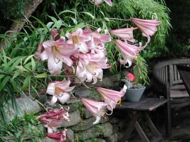 Hur får man till de där vackert prunkande liljebestånden? Här kunglilja, _Lilium regale_, 'Pink Perfection'. Foto: Sylvia Svensson