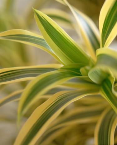Banddracena, _Dracaena deremensis_. Fotograf: Flower council of Holland.