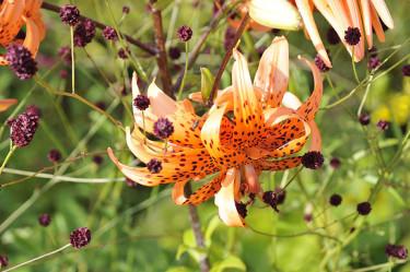 Tigerlilja, _Lilium lanciflorum_ 'Flora Pleno' med _Sanguisorba officinalis_ 'Tanna'.