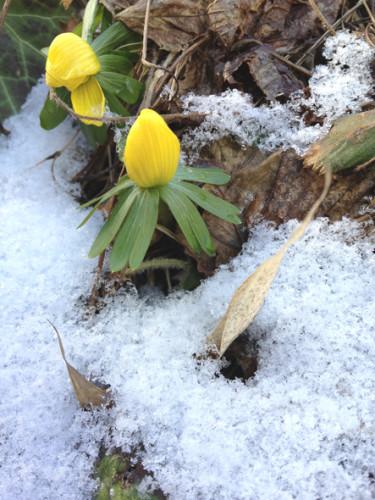 Tappra vintergäck trotsar bakslagssnön.