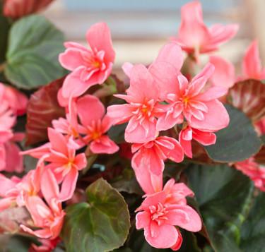 Höstbegonia 'Ceveca', en rar blomma som många tycker om. Foto: Blomsterfrämjandet//Minna Mercke Schmidt