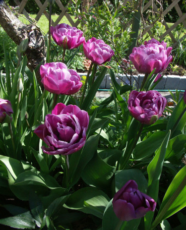 Tulpaner kan planteras sentArr+foto: Sylvia Svensson