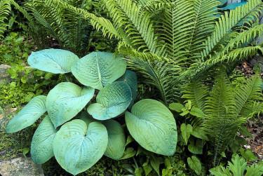Samplantering med ormbunkar är alltid lyckat. _H. sieboldiana_, **daggfunkia**, och strutbräken.