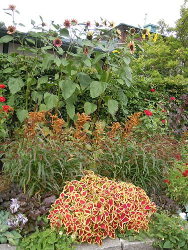 Solrosor, kolvhirs, palettblad, blodamarant, alunrot med flera. Foto: Bernt Svensson