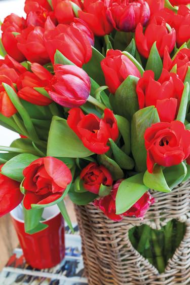 Tulpaner i kärlekens härligt röda färg. Foto: Blomsterfrämjandet