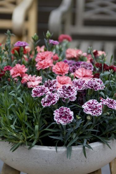 Trädgårdsnejlika, _Dianthus caryophyllus_. Foto: Blomsterfrämjandet.