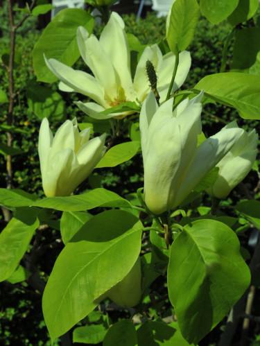Magnolia 'Elisabeth' minner mig om min väninna.
