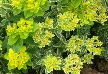 Närbild på _Euphorbia polycroma_ 'Lacy'. Foto: Sylvia Svensson