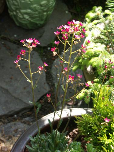 _Saxifraga paniculata_ 'Rosea'. Foto: Sylvia Svensson