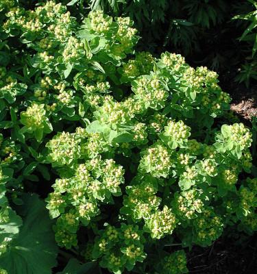 _Euphorbia polycroma_ med fröställningar. Foto: Bernt Svensson