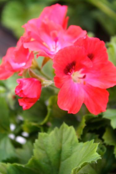 Engelsk pelargon 'Rosanna' Foto: Blomsterfrämjandet