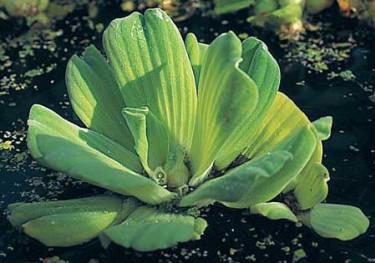 Musselblomman är en flytväxt som sprider sig snabbt. Bild Pondteam.