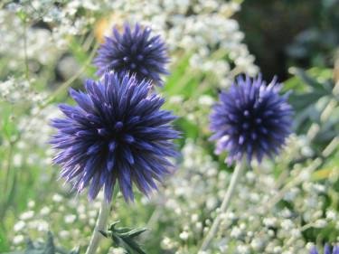 Blå bolltistel, _Echinops bannaticus_, vald till Årets perenn 2012.  Foto: Marie Andersson