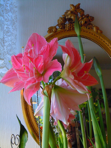 Ståtliga, vackra amaryllis. Arr+foto: Sylvia Svensson