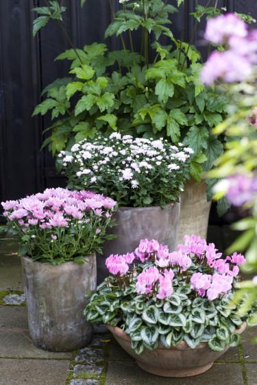Cyklamen, _cyclamen persicum_, tillsammans med andra vackra blommor. Foto: Floradania