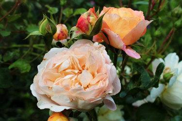 En favoritros i min trädgård //Foto: Anna Theorin