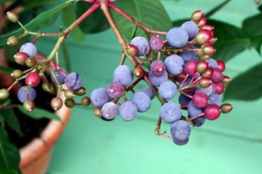 Bär av Fuchsia paniculata