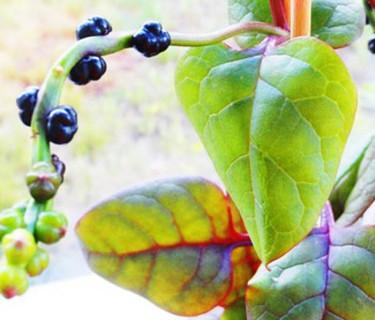 Malabarspenat, Basella alba 'Rubra', fröställningar Fotot taget av vår läsare Ingrid Ribelli