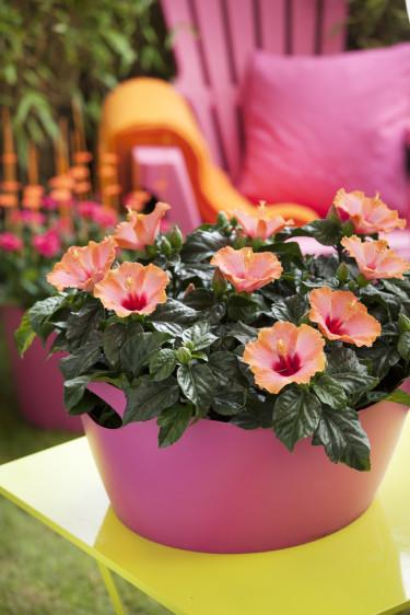Njut av din vackra hibiskus under lång tid. Foto: Floradania