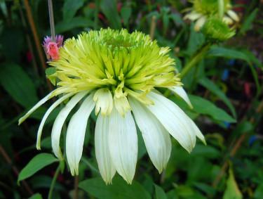 _Echinacea purpurea_ 'Meringue'. Foto: Sylvia Svensson