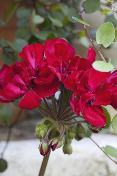 Årets pelargon 2013, _Pelargonium x hortorum_ Tango-serien. 'Velvet Red' Foto: Blomsterfrämjandet/Annika Christensen