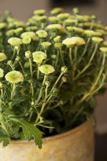 Krysantemum 'Greenery Mix'. Foto: Blomsterfrämjandet.