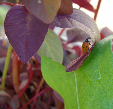 Liten piga som gör mycket nytta genom att mumsa på bladlöss.  Foto: Katarina Kihberg