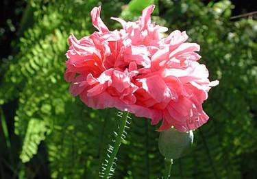 Pionvallmo, _Papaver paeoniflora_ 'Rose Paeony' Foto: Sylvia Svensson
