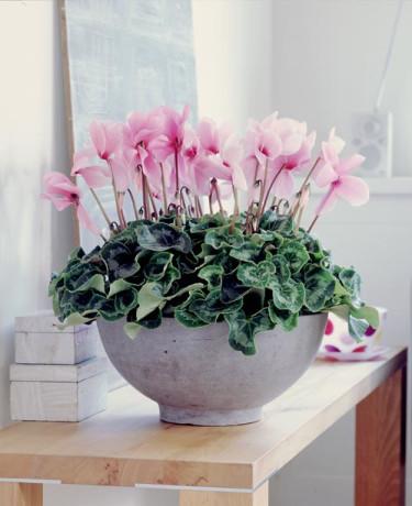 _Cyclamen persicum_. Läcker cyklamen tar sjunde plats bland svenskarnas tio populäraste krukväxter. Foto: Blomsterfrämjandet/CCE.