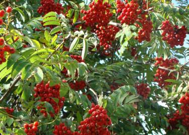 Det är nästan galet mycket rönnbär på träden i år! Foto: Katarina Kihlberg