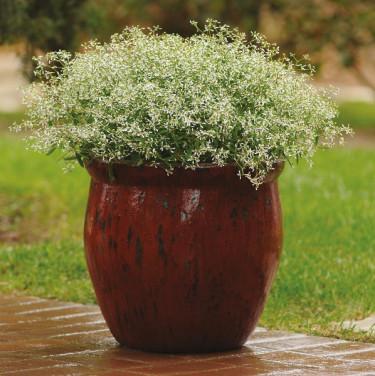 Snötörel, Euphorbia 'Glitz'