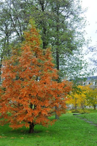Tuja med bruna barr, svårt drabbad av kvistdöd, _Kabatina thujaea_. Foto: Bernt Svensson