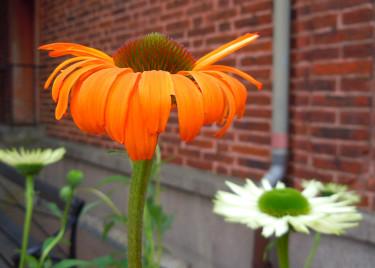 _Echinacea purpurea_ 'Sunrise', 'Tangerine Dream' och 'Virgin' (den vita)  Foto: Sylvia Svensson