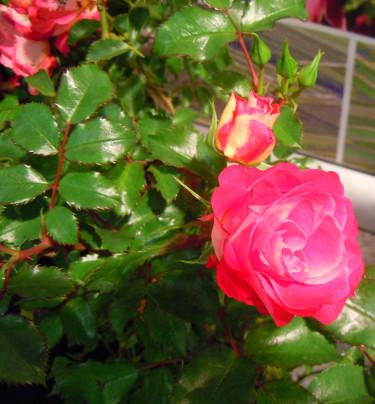 Splendors: Ny ros, Easy Elegance 'Coral Cove' . Foto: Sylvia Svensson