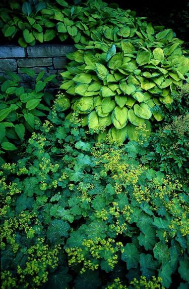Jättedaggkåpa och funkior fungerar fint ihop. Daggkåpans limegula blommor går igen i det gula hos 'Gold Standard'.