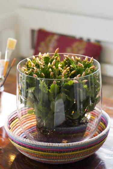 Novemberkaktus i glasvas utgör ett roligt och annorlunda arrangemang.  Foto: Floradania