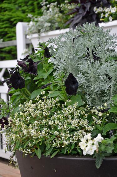 Petunia 'Velvet' och malört bakom trädgårdsverbena och snöflinga. Svart kruka, vitt staket. Foto: Mäster Grön