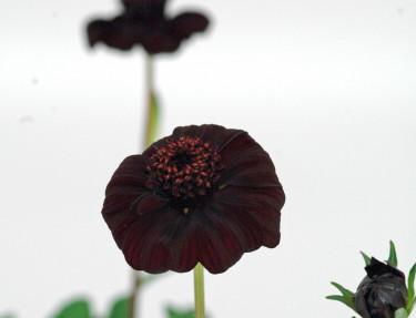 Chokladskära, _Cosmos atrosanguinea_, hör till de mörka blommornas skara.  Foto: Mäster Grön