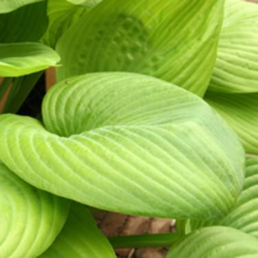 Hosta 'Sum and Substance' har riktigt stora, vackert ljusgröna blad.  Beställ här: [Perennerbjudande](http://erbjudande.odla.nu/bpr/?p=1)