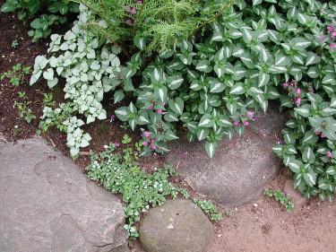 Rosenplister, _Lamium maculatum_, olika sorter Foto: Sylvia Svensson