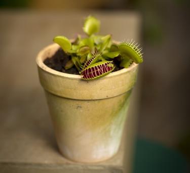Köttätande växter, Venus flugfälla, _Dionaea muscipula_, är fascinerande.