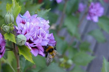 _Hibiscus syriacus fl.pl_. Foto: Marjatta Huuskonen.