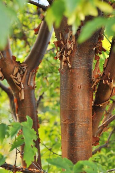 Kopparlönn, _Acer griseum_, med sin kanelbruna bark.