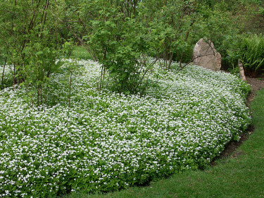 Myskmadra, _Galium odoratus_, bildar här en fantastisk matta.  Foto: Sylvia Svensson